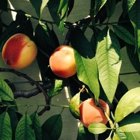 Peaches growing in the glass-house